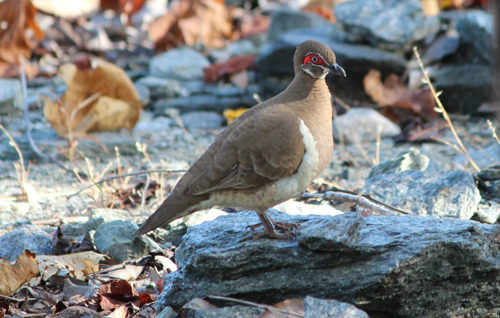 An Eastern Partridge Pigeon foraging on the Ranger trial landform