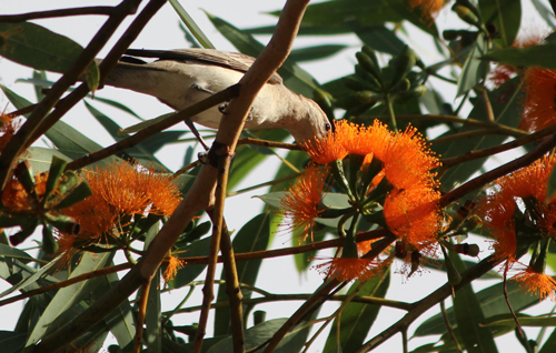A White-Winged Triller feasting on a flowering plant